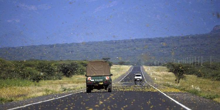 Pánico en Uganda y Tanzania por la plaga de langostas