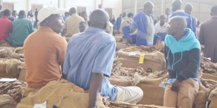 La temporada del tabaco en Malawi arroja unos 39.4$ millones en las primeras cinco semanas