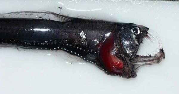 Especies de peces 'ultra-negros' se descubrieron este año y absorben el 99,9% de la luz